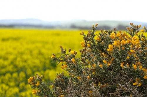 Plant with yellow flowers beside paddocks of canola in flower