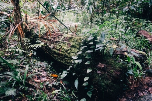 Plants, ferns and moss growing on a fallen log in Mossman Gorge