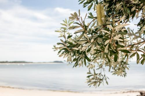 Banksia tree grows over a beach in Port Stephens on the NSW Mid North Coast