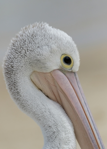 Portrait of an Australian Pelican (Pelecanus conspicillatus) with soft sandy background