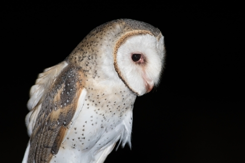 Portrait of an Eastern Barn Owl
