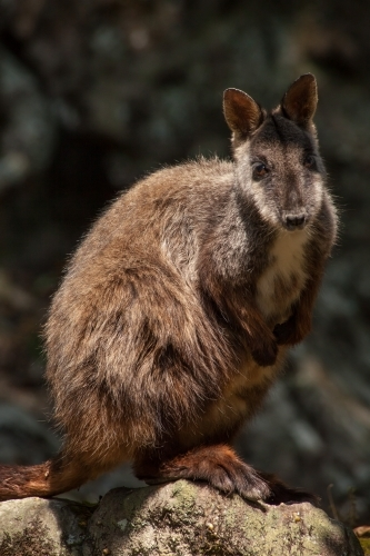 Portrait of Brush-tailed Rock Wallaby