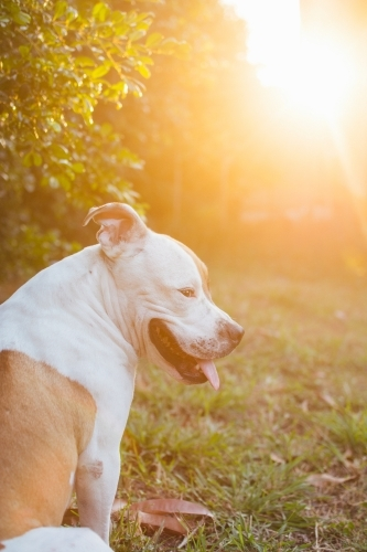 Portrait of dog sitting in golden light