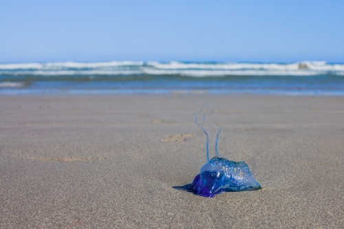 Portuguese Man O' War Blue Bottle Jellyfish washed up on shore