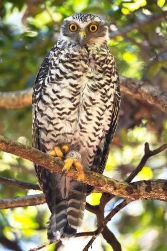 Powerful Owl looking at the camera