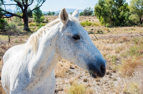 Profile of white speckled horse standing in field.