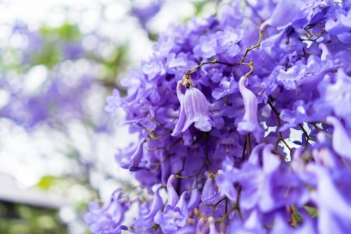Purple Jacaranda Tree with bee on flower