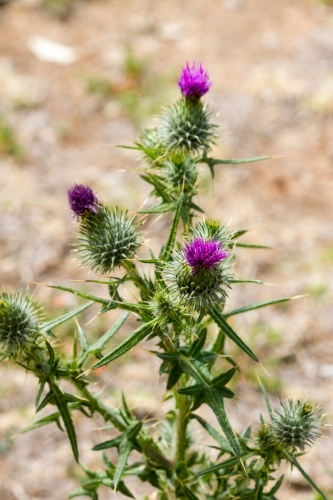 Purple scotch thistle or Wooly Thistle.  Cirsium eriophorum