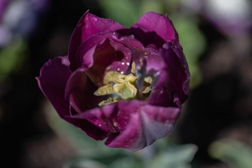 Purple tulip with yellow centre close up