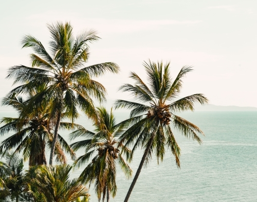 Queensland palm trees with coconuts with a bright green ocean background and pale sky