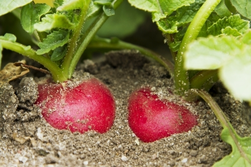 Radish in the ground ready for harvest