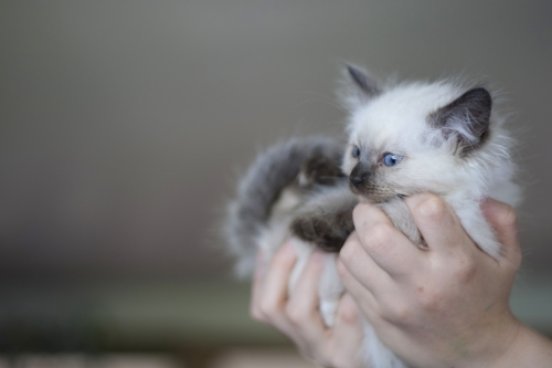 Ragdoll kitten being held