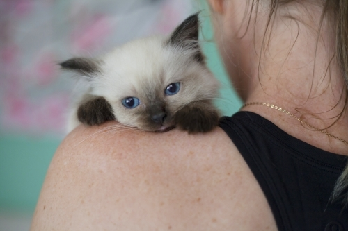 Ragdoll kitten resting on humans shoulder