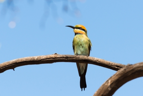 Rainbow Bee-eater sitting on a branch with blurred blue background