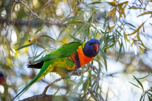 rainbow lorikeet in wattle tree