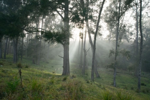 rays of light through trees on foggy damp morning on the farm