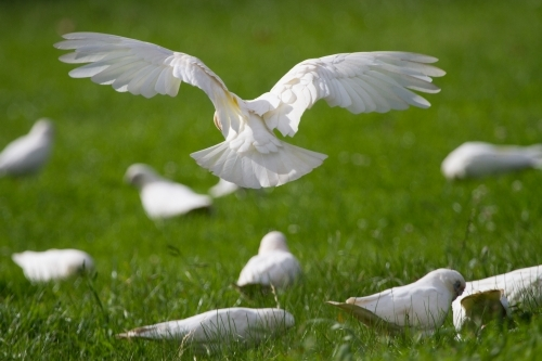 Rear View of a Corella Coming in to Land