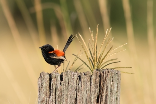Red-backed Fairy Wren on tree stump