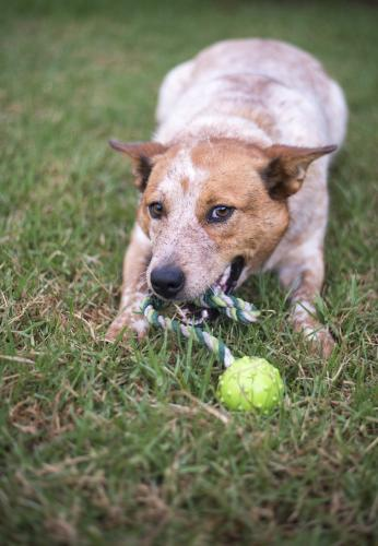 Red cattle dog chewing toy on green lawn with cheeky playful grin