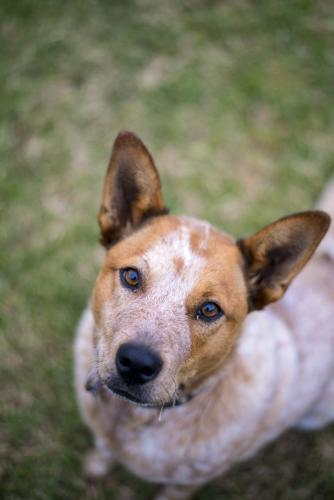 Red cattle dog sitting on lawn looking up at camera