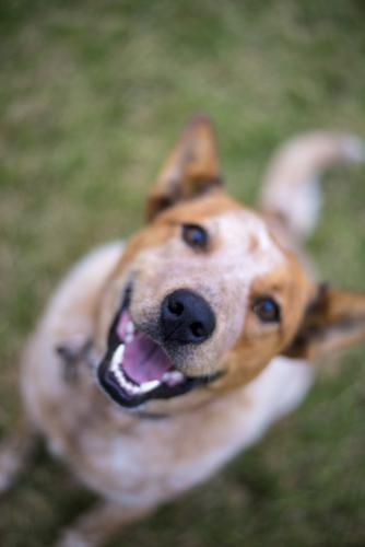 Red cattle dog smiling and looking up at camera on green lawn
