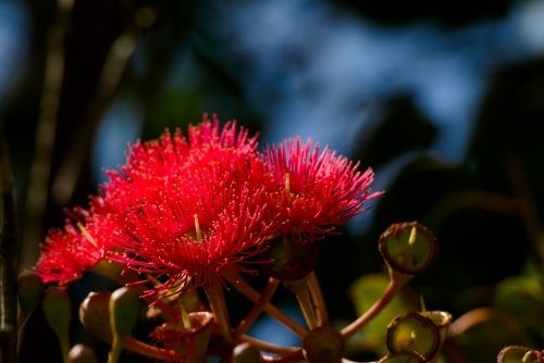 Red flowering gum tree flowers glowing in the late afternoon light with blurred background