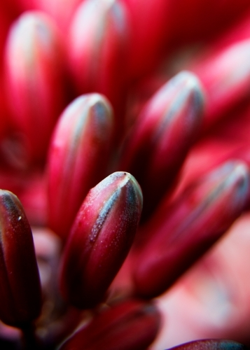 Red Flowering Plant Close Up - Macro