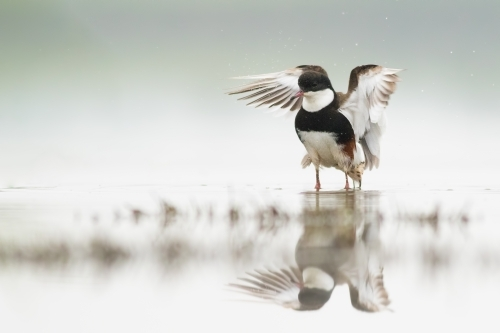 Red-kneed Dotterel standing in water with reflection.