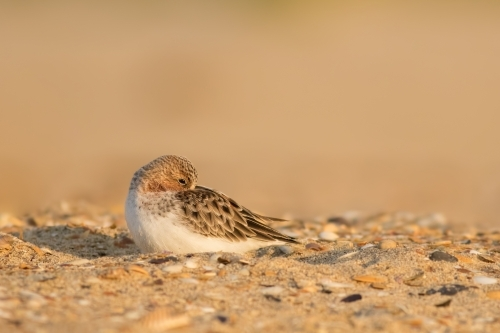 Red-necked Stint grooming itself while sitting on sand