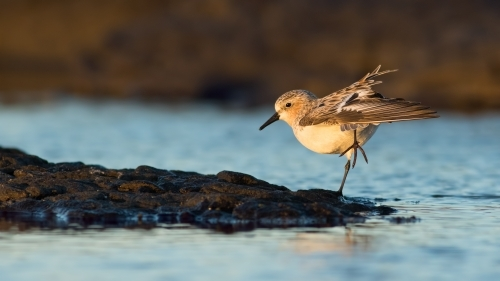 Red-necked Stint standing on one leg on water's edge