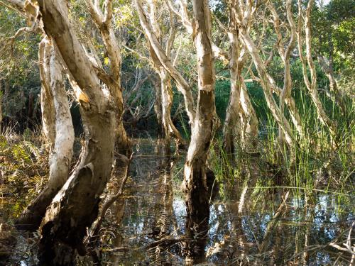 Paperbark trees in a coastal swamp