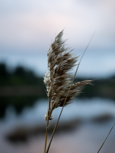 Reed in the Wind at Sunset