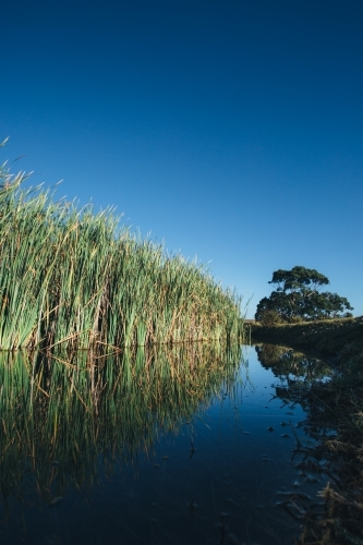 Reeds growing beside a still river on a clear blue sky day