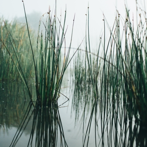 Reeds on misty morning beside a river