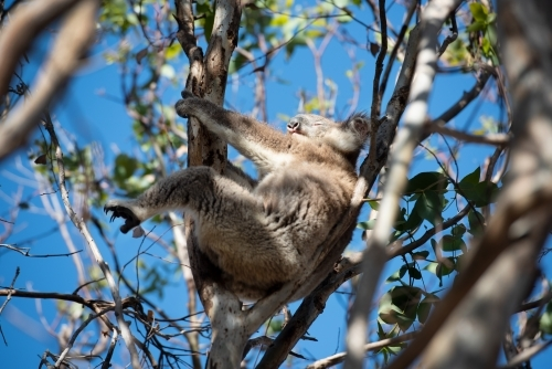 Relaxed koala in a tree enjoying the sun