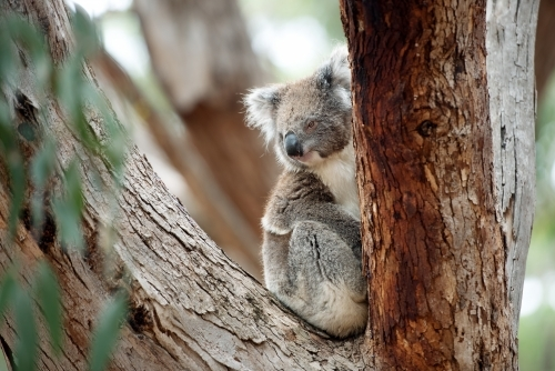 Relaxed koala looking out from gum tree