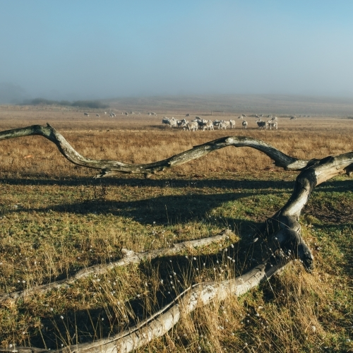 Remote landscape with dead tree and livestock in the distance