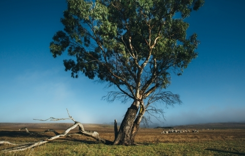 Remote landscape with large gum tree and livestock in the distance