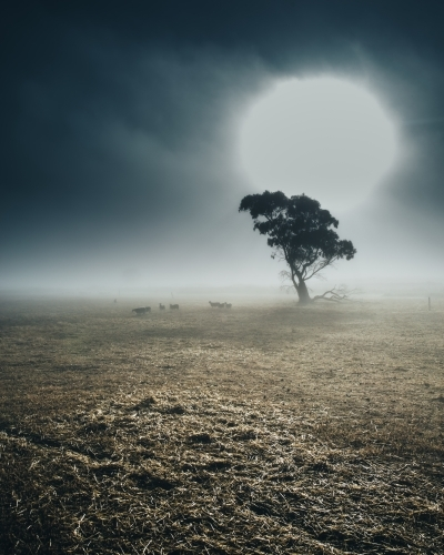 Remote rural landscape at sunrise with gum trees on a misty morning