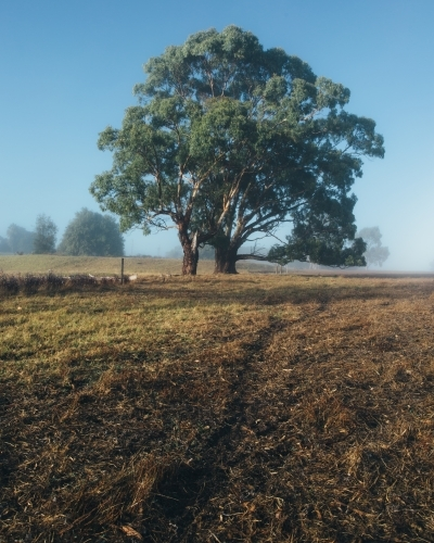 Remote rural landscape with gum trees on a misty morning
