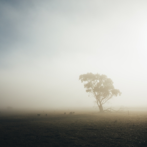 Remote rural landscape with single gum tree on a misty morning