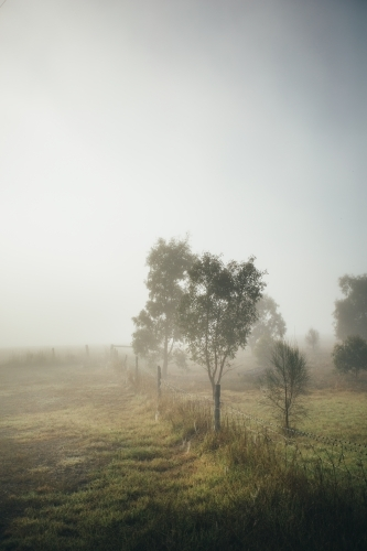 Remote rural landscape with young gum trees on a misty morning