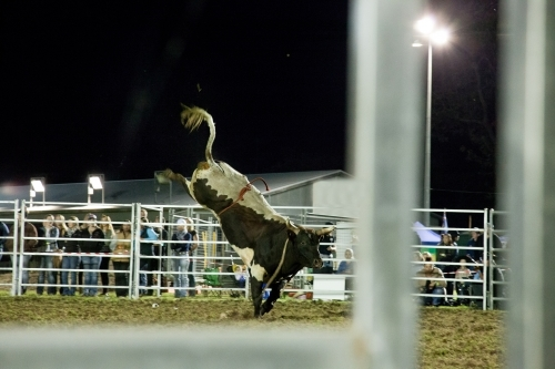 Riderless bull bucking in bull riding competition at the local show
