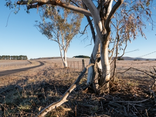 Road and gum tree in grazing country on a frosty morning