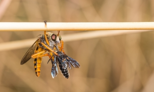 Robber fly (Asilidae) eating prey