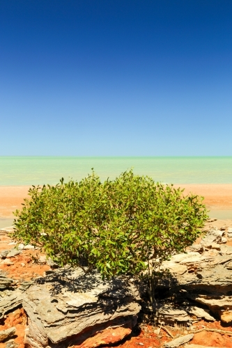 Mangroves on the red shore of Roebuck Bay, WA.