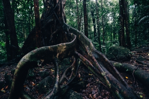 Roots of old tree in Mossman Gorge