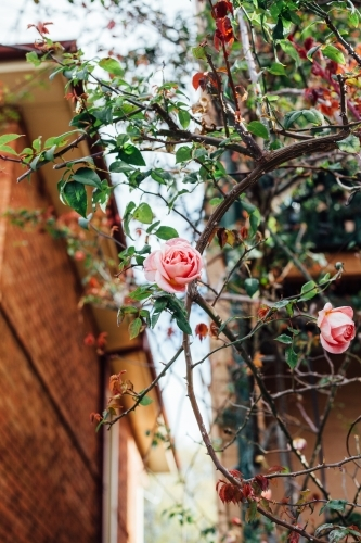 Rose bush in front of brick home
