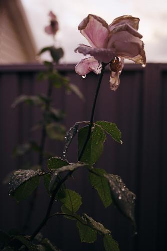 a rose just after winter rain