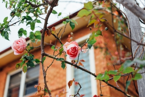 Roses in front of red brick home